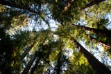 photo of redwood canopy